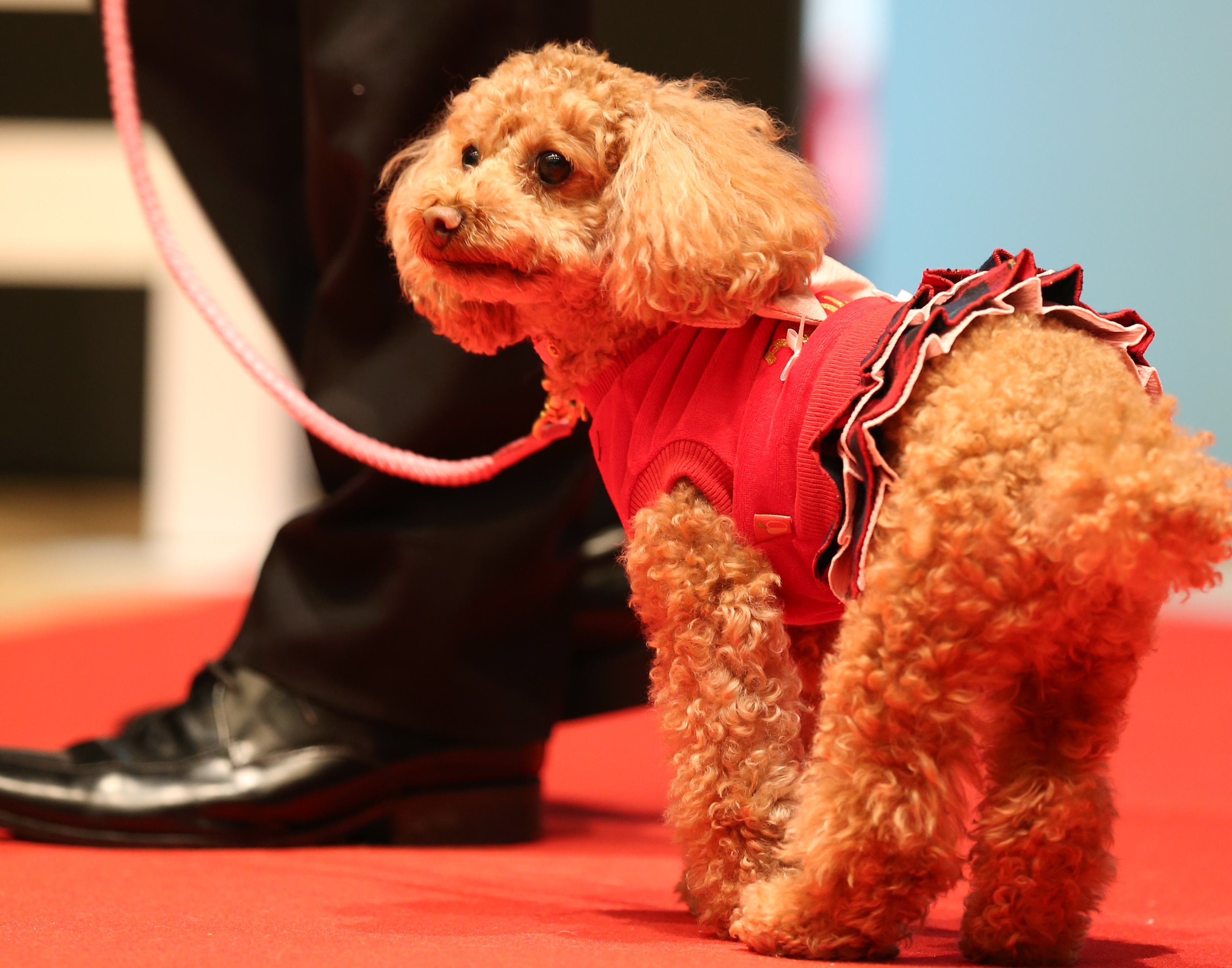 ドッグファッションショー モデル犬大募集!!