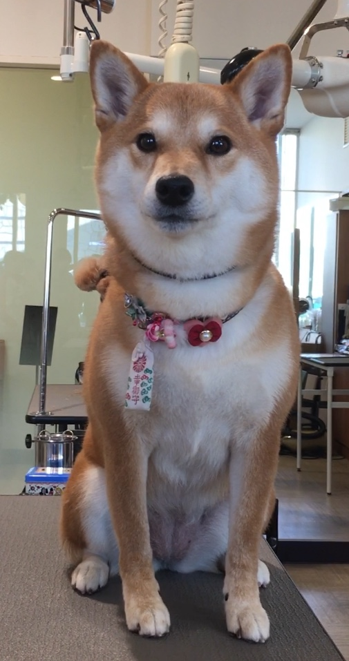柴犬のくりちゃん☆